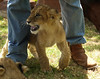 South Africa: Walking with Lions (at MacRae's) Cullinan, Gauteng :